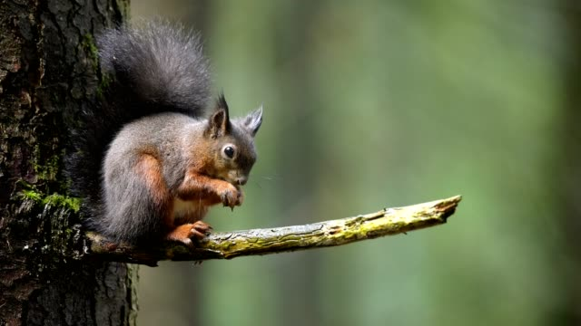 red squirrel, sciurus vulgaris, sitting on tree - 動物点の映像素材/bロール