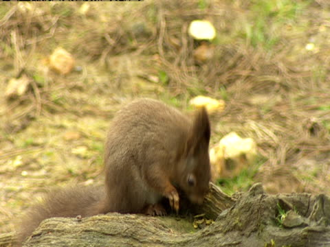 a red squirrel sits on a tree stump at the wildwood centre chewing nuts. - ceppaia video stock e b–roll