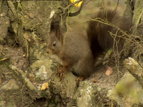 a red squirrel sits on a tree stump at the wildwood centre in kent. - ceppaia video stock e b–roll