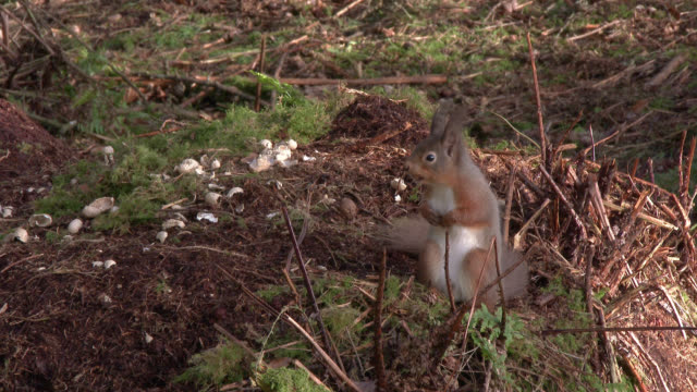 Red squirrel sitting on a clump of ground looking around in Scottish woodland