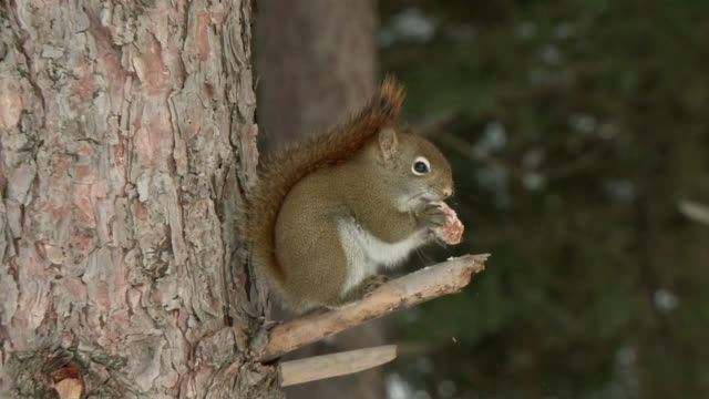 MS ZI Red squirrel (Sciurus vulgaris) sitting on tree and eating, Algonquin Park / Tweed, Ontario, Canada