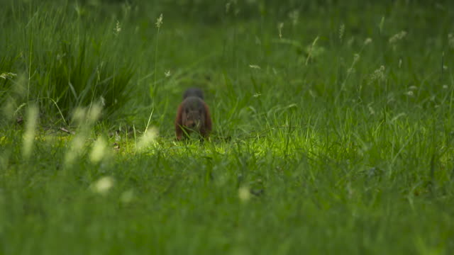 red squirrel slow-motion running - squirrel stock videos and b-roll footage