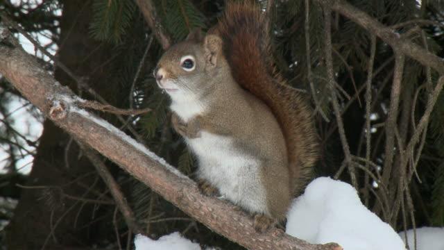 MS Red squirrel (Sciurus vulgaris) standing on branch in snow, Algonquin Park / Tweed, Ontario, Canada