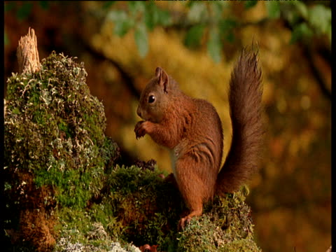 red squirrel standing on mossy stump eating then runs away, caerlaverock national nature reserve. - squirrel stock videos and b-roll footage