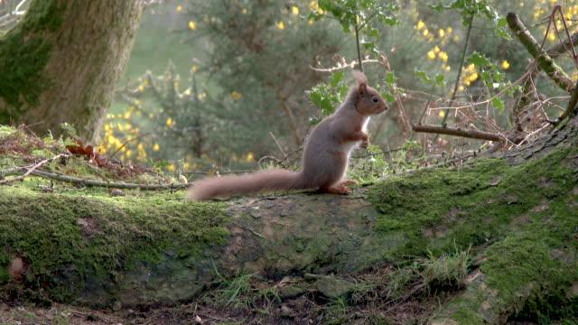 vidéos et rushes de écureuil rouge restant sur la racine d'un arbre avant de s'enfuir dans la forêt écossaise - mousse végétale