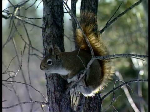 CU Red squirrel, Tamiasciurus hudsonicus, sitting in tree, calling, Arctic Circle