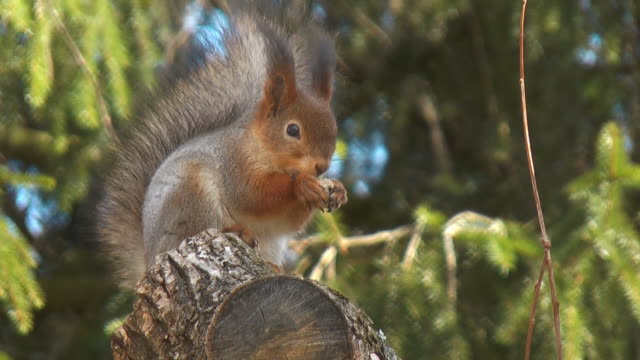 red squirrel - squirrel stock videos and b-roll footage