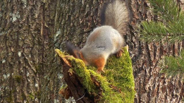 Red Eichhörnchen
