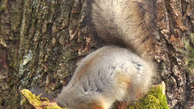 red eichhörnchen - audio verfügbar stock-videos und b-roll-filmmaterial