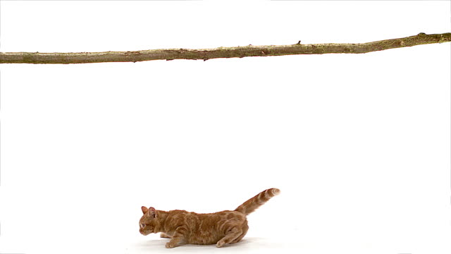 ms slo mo red tabby domestic cat falling from branch / vieux pont, normandy,  france - fallen stock-videos und b-roll-filmmaterial