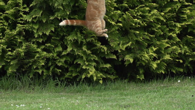 'Red Tabby Domestic Cat Hunting, Normandy, Slow Motion'