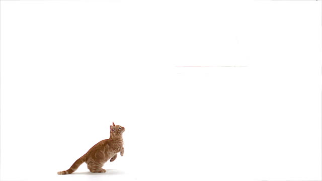 MS SLO MO Red tabby domestic cat jumping / Vieux Pont, Normandy,  France
