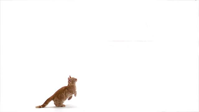 vidéos et rushes de ms slo mo red tabby domestic cat jumping / vieux pont, normandy,  france - chat domestique
