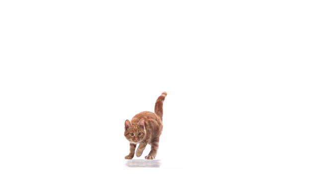 MS SLO MO Red tabby domestic cat leaping  / Vieux Pont, Normandy,  France