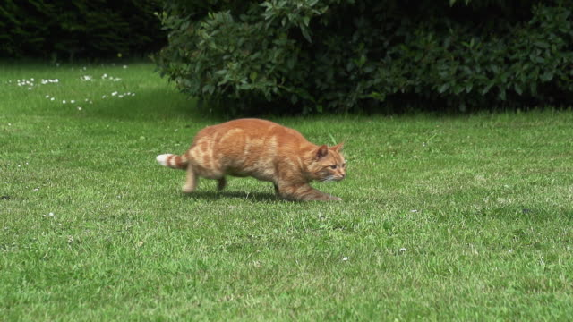"""Red Tabby Domestic Cat playing on Lawn, Normandy, Slow Motion"""