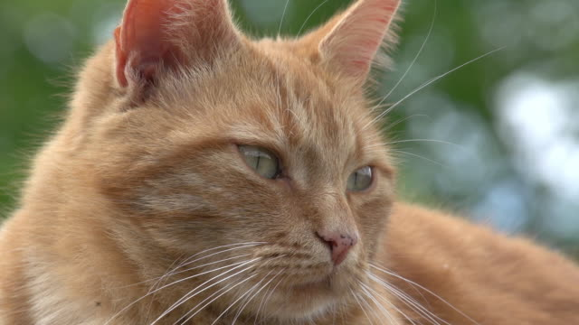 """""""Red Tabby Domestic Cat, Portrait of Adult, Normandy, Real Time"""""""