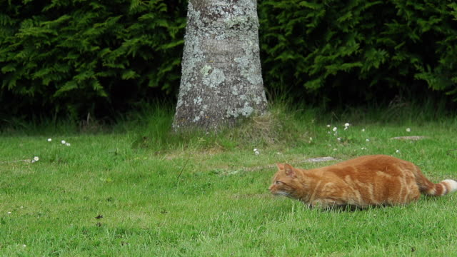 """Red Tabby Domestic Cat running on Lawn, Normandy, Slow Motion"""