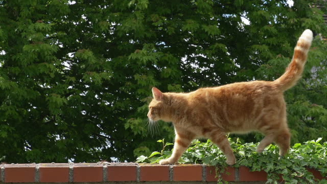 'Red Tabby Domestic Cat walking on Toit, Normandy, Real Time'