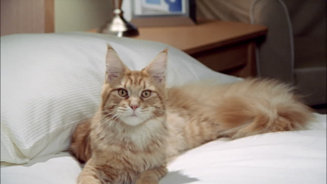 red tabby maine coon lying against pillow on top of bed and yawning / looking around - 横たわる点の映像素材/bロール