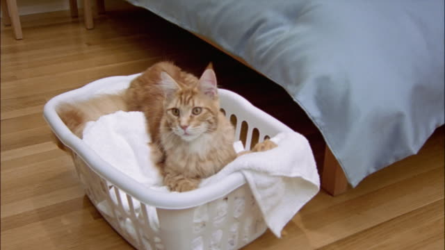 red tabby maine coon lying in laundry basket at foot of bed / yawning - 洗濯かご点の映像素材/bロール