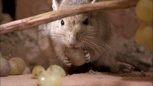 Red tailed gerbil (Meriones libycus) eats grapes, Turfan, China