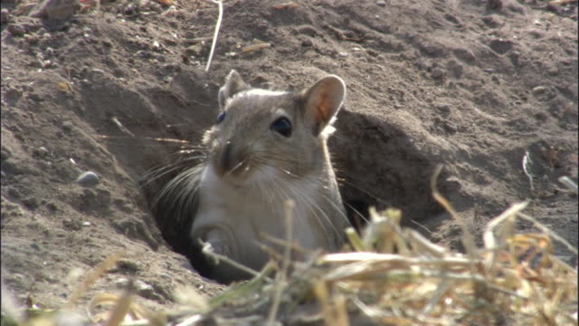 stockvideo's en b-roll-footage met red tailed gerbil (meriones libycus) emerges from burrow then turns and dives back in, turfan, china. - leger thema