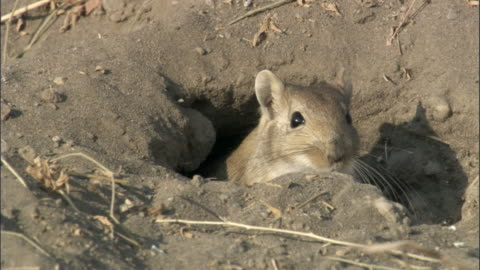 red tailed gerbil (meriones libycus) emerges from burrow, turfan, china  - emergence stock videos & royalty-free footage