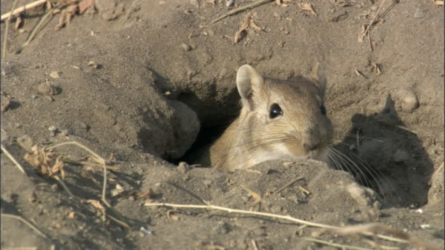 vídeos de stock, filmes e b-roll de red tailed gerbil (meriones libycus) emerges from burrow, turfan, china  - buraco