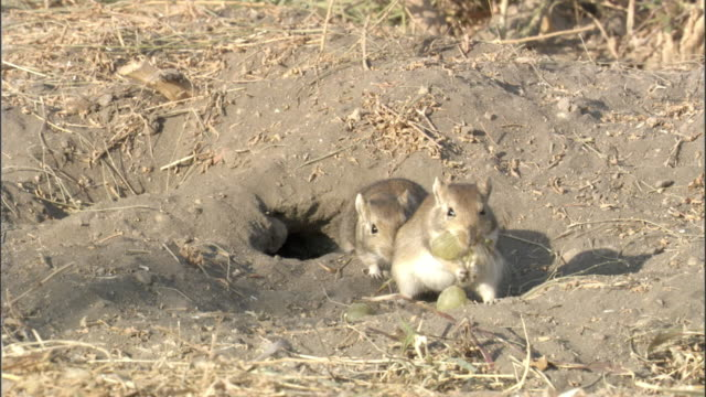 red tailed gerbils (meriones libycus) carry grapes into burrow, turfan, china  - hole stock videos & royalty-free footage