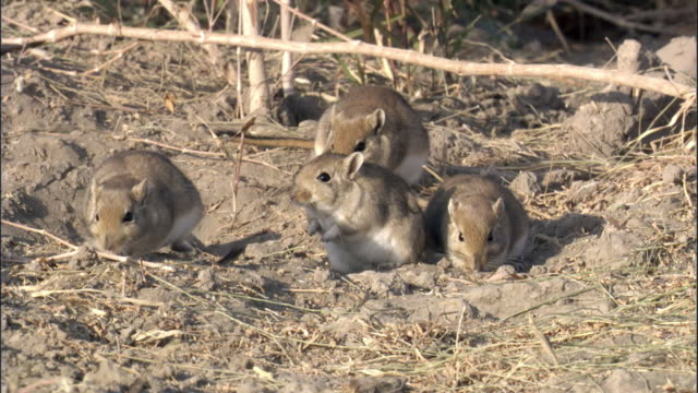 Red tailed gerbils (Meriones libycus), Turfan, China