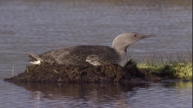 A red throated diver rests on its lake nest. Available in HD.