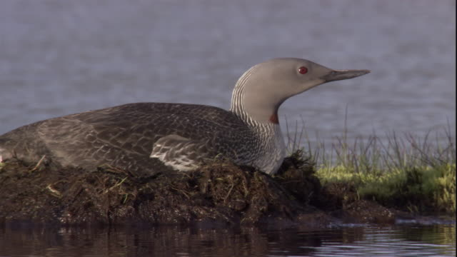 A red throated diver sits on its nest. Available in HD.