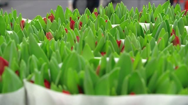 red tulip buds - lily family stock videos & royalty-free footage