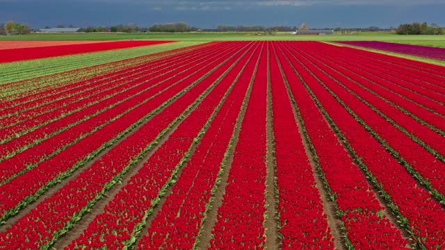 vídeos de stock e filmes b-roll de red tulip flowers field, the netherlands. - vista de cima para baixo