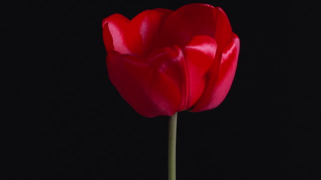 T/L, CU, Red tulip opening against black background