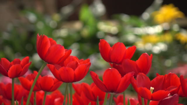 Red Tulips Dolly