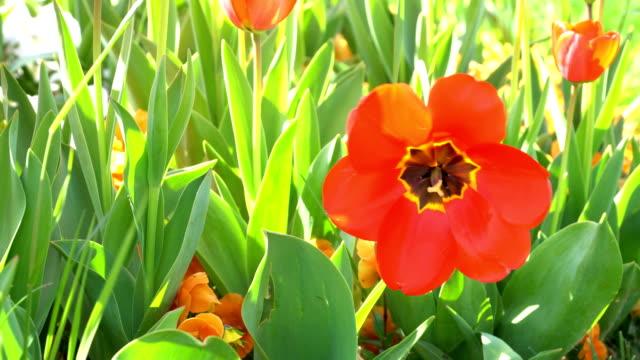 stockvideo's en b-roll-footage met 4k rode tulpen - stock video - bloembed