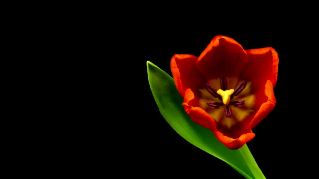 red tulips time lapse - blossom stock videos & royalty-free footage