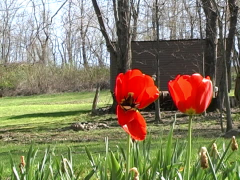 red tulips - lily family stock videos & royalty-free footage