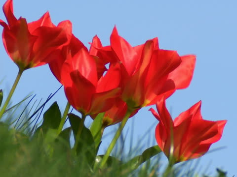 stockvideo's en b-roll-footage met red tulips waving in the wind - textfreiraum