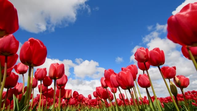 red tulips with blue sky and clouds in spring, lisse, bollenstreek, south holland, netherlands - tulip stock videos and b-roll footage