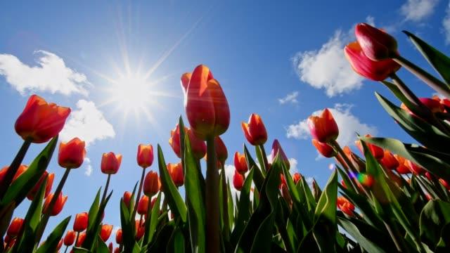 red tulips with blue sky and sun, noordwijkerhout, bollenstreek, south holland, netherlands - grodperspektiv bildbanksvideor och videomaterial från bakom kulisserna