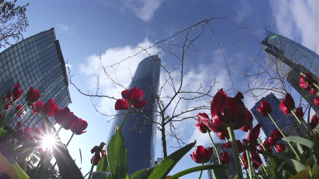 stockvideo's en b-roll-footage met cu la red tulips with downtown skyscrapers in background, vancouver, british colombia, canada - laag camerastandpunt