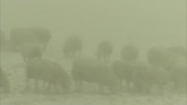 red weather warning issued in scotland / north of england badly hit scotland ext various of sheep seen in snowy field as more snow falls john scott... - john scott stock videos and b-roll footage