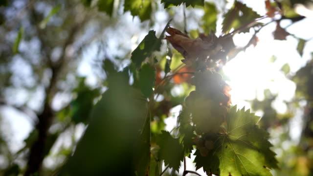 red wine grape in vineyard - crisps stock videos & royalty-free footage