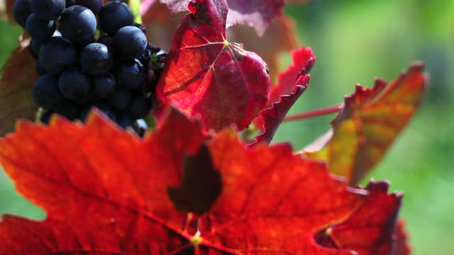red wine grapes close-up (loopable) - frische stock videos & royalty-free footage