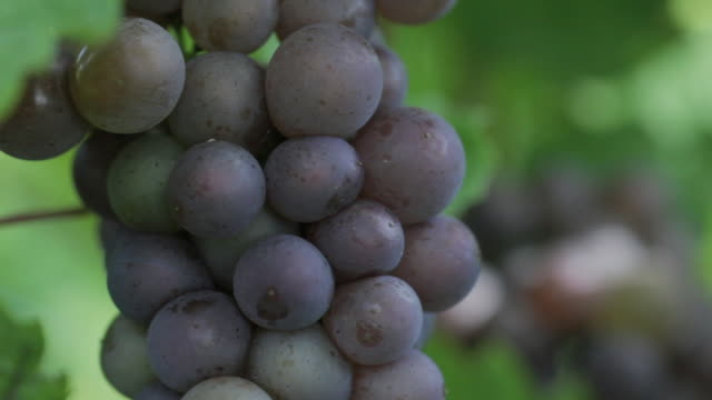 cu red wine grapes growing in vineyard / colchester, connecticut, usa - red grape stock videos & royalty-free footage