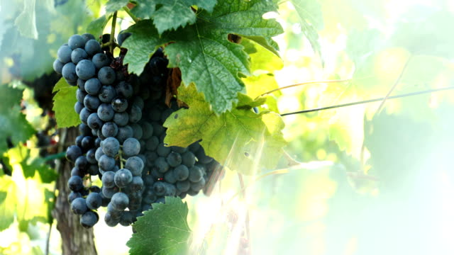 red wine grapes in a vineyard - traditionally austrian stock videos & royalty-free footage