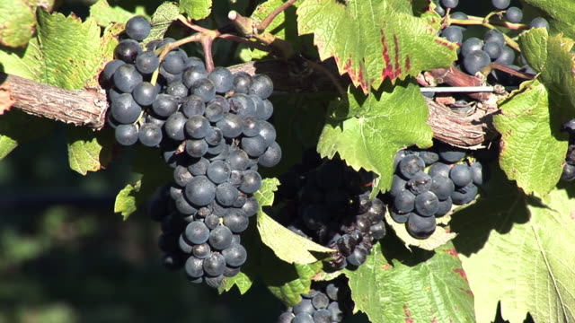 cu red wine grapes / marlborough wine trail, blenheim, new zealand - grape stock videos & royalty-free footage