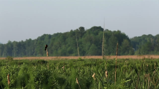 red wing black bird sits on top of a cat tail in a swamp area. - rotschulterstärling stock-videos und b-roll-filmmaterial